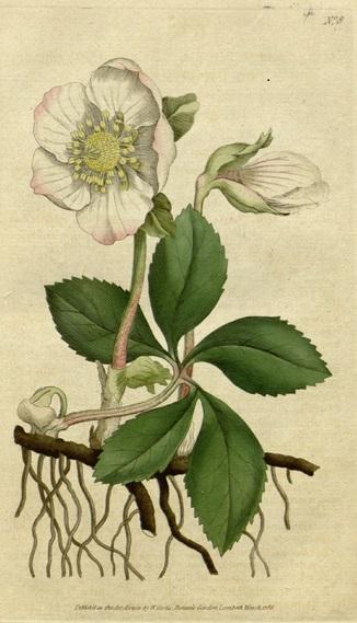 White Christmas Rose (Helleborus)