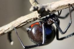 Black Widow Identification | Where Do Black Widows Live?