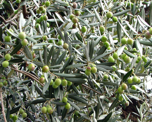 Nearly mature olive fruit; Assisi, Italy; October-November.