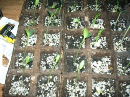 More seedlins waiting for transplanting.  These are the seeds we planted in the house.