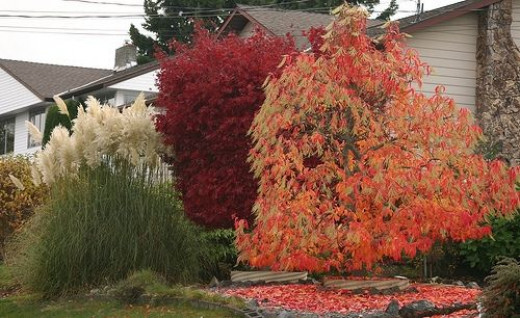 Oxydendron Arborium, The Sour or 'Lily of the Valley' Tree