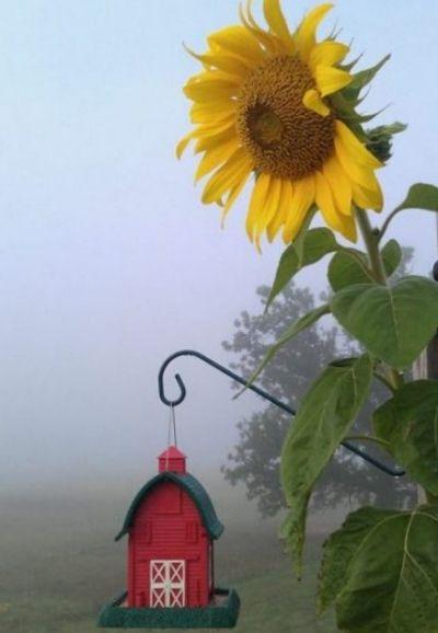 Foggy Sunflower Morning