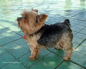 Yorkshire Terrier photo courtesy of dogsbreeds.org