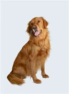 Golden Retriever photo courtesy of dog-breed-facts.com