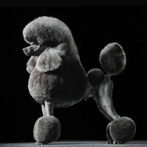 Poodle photo courtesy of moreintelligentlife.com