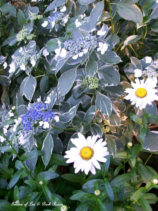 """Variegated Lace-cap Hydrangea and Shasta Daisy """"Becky"""""""
