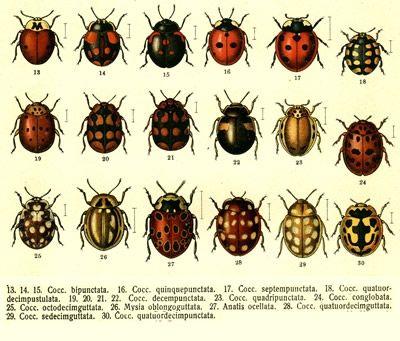 Ladybug Chart