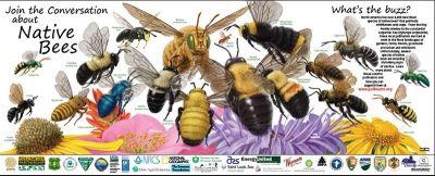 Native Bee Pollinator Poster