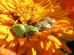 Frogs Pollinators