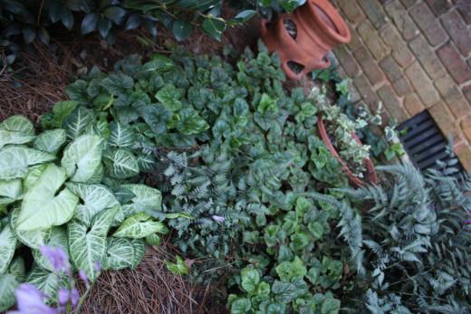Herchera, ferns, Caladiums