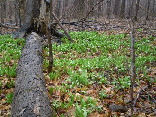 Some colonies of wild leeks can be hundreds if not thousands of plants.