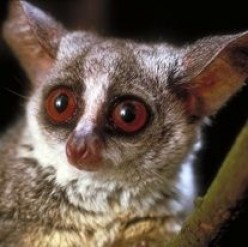 B Is For Bushbaby