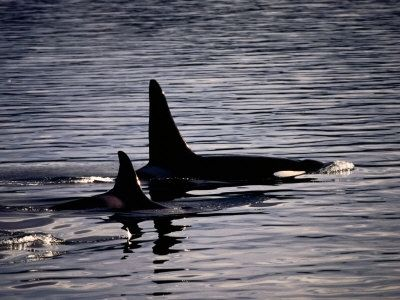 mother orca and baby poster