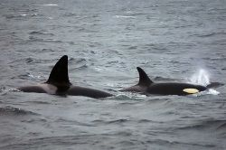 male and female orca whales