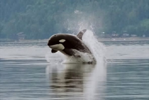 orca porpoising