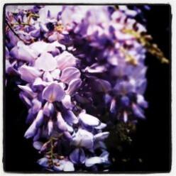 Wisteria Floribunda, the Violaceous Wayfaring Wanderer