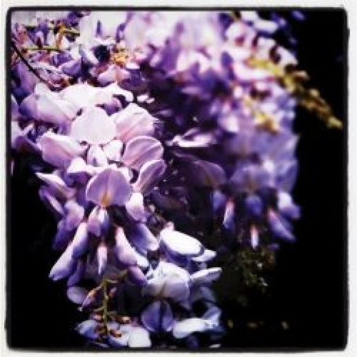 Wisteria bloom image © Jessica Barst, all rights reserved