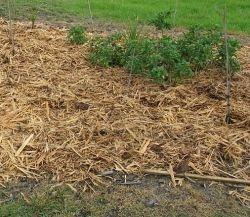 mulched lasagna garden