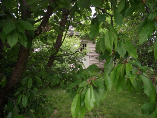 Looking through the cherry tree in our back yard. We have a number of organic fruit trees in our backyard.