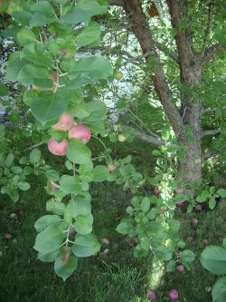 Our organic backyard apple tree.