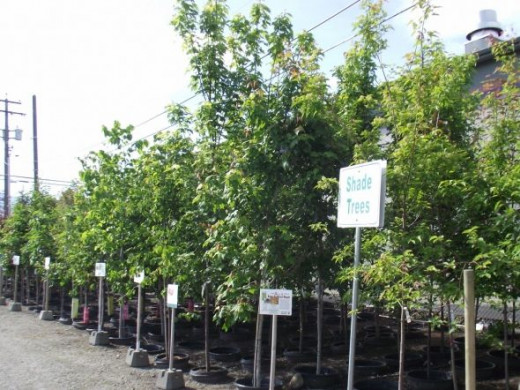 A few of the fabulous trees for sale at our local Top Crop garden center.