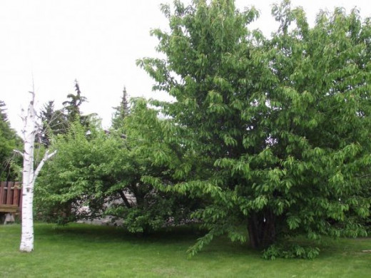 Our cherry and apple tree. We keep the dead birch for the birds to use. They like it.