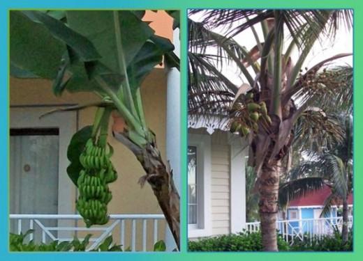 Bananna Tree and Coconut Palm
