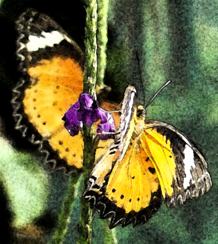 Butterfly  Clip Art Photo