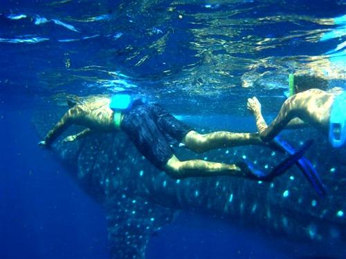 Whale Sharks Ningaloo Reef