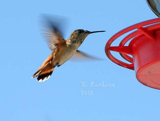 Hummingbirds in Julian, CA.  There's a store there with a lot of bird feeders.  I think this is an Allen's hummingbird.