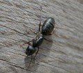 Worker Carpenter Ant