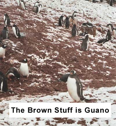 Penguins Strolling Through Guano