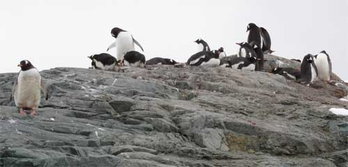 Penguins Observing Visitors Arriving by Zodiac