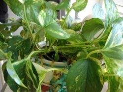 Pothos or Devil's Ivy