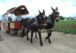 Horse Drawn Carriage Tour of the Tulip Festival in La Conner