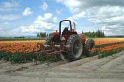 Farm Tractor Cultivating the Tulip Fields