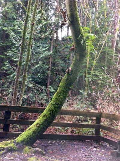 A Crooked, Moss-Covered Tree on the Trail