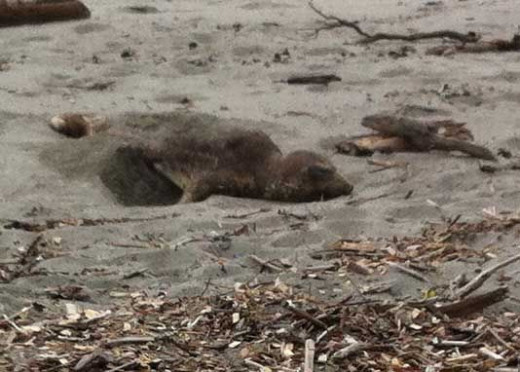 Elephant Seal Moulting on the Beach at Ambleside