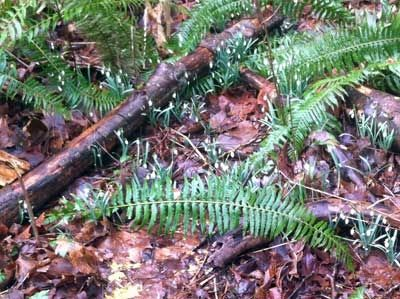 Snowdrops Blossoming Among Ferns