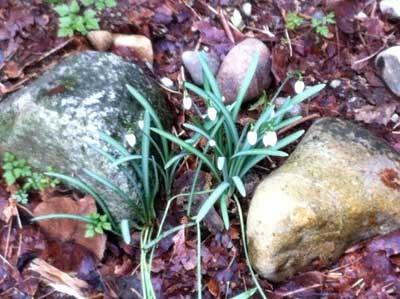 Snow Drops Among Rocks