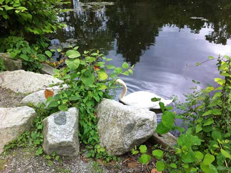 Rocks, Trees, Pond and Swimming Swan