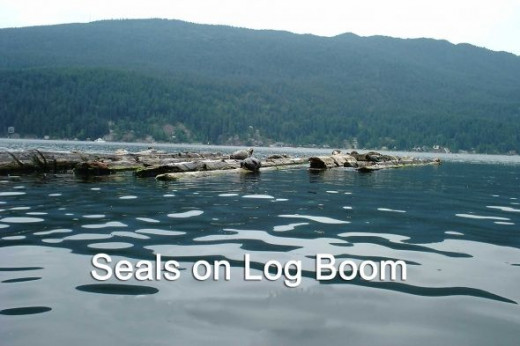 Harbor Seals on Logs