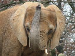 Elephant Trunk - Morguefile Image