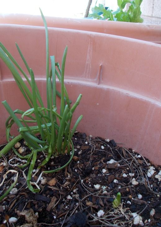 The root end of an onion may be used to start onion chives. They will start growing within days of planting. Keep moist and the greens will show soon!