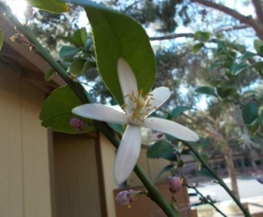 Lemon Blossom 2013