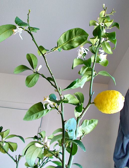 Beloved lemon tree with its fruit ready to pick and the new flowers coming out near the shelter of my kitchen window.