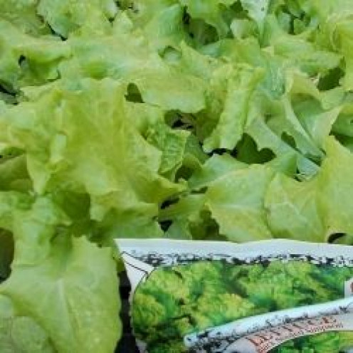 Black Seeded Simpson lettuce is a bright green leafy plant. The taste when picked early is mild, but as it grows it tends to be bitter. A shot of vinegar in a salad made with this leaf will compliment this lettuce well.