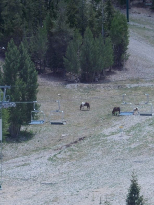 Wild horses grazing the ski trails in late summer