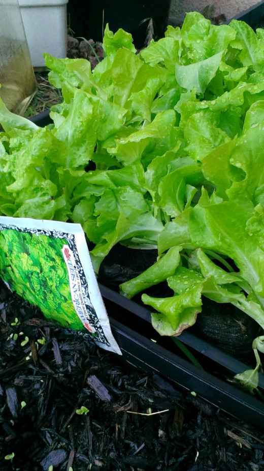 Plant lettuce every week to insure a steady crop of tasty leaves. I am planting new seeds each weekend. Maintain 2 trays per household member.