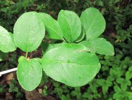 Prunus spinosa subspecies insititia